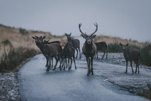 Family Deer Scotland