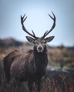 Stag Scotland