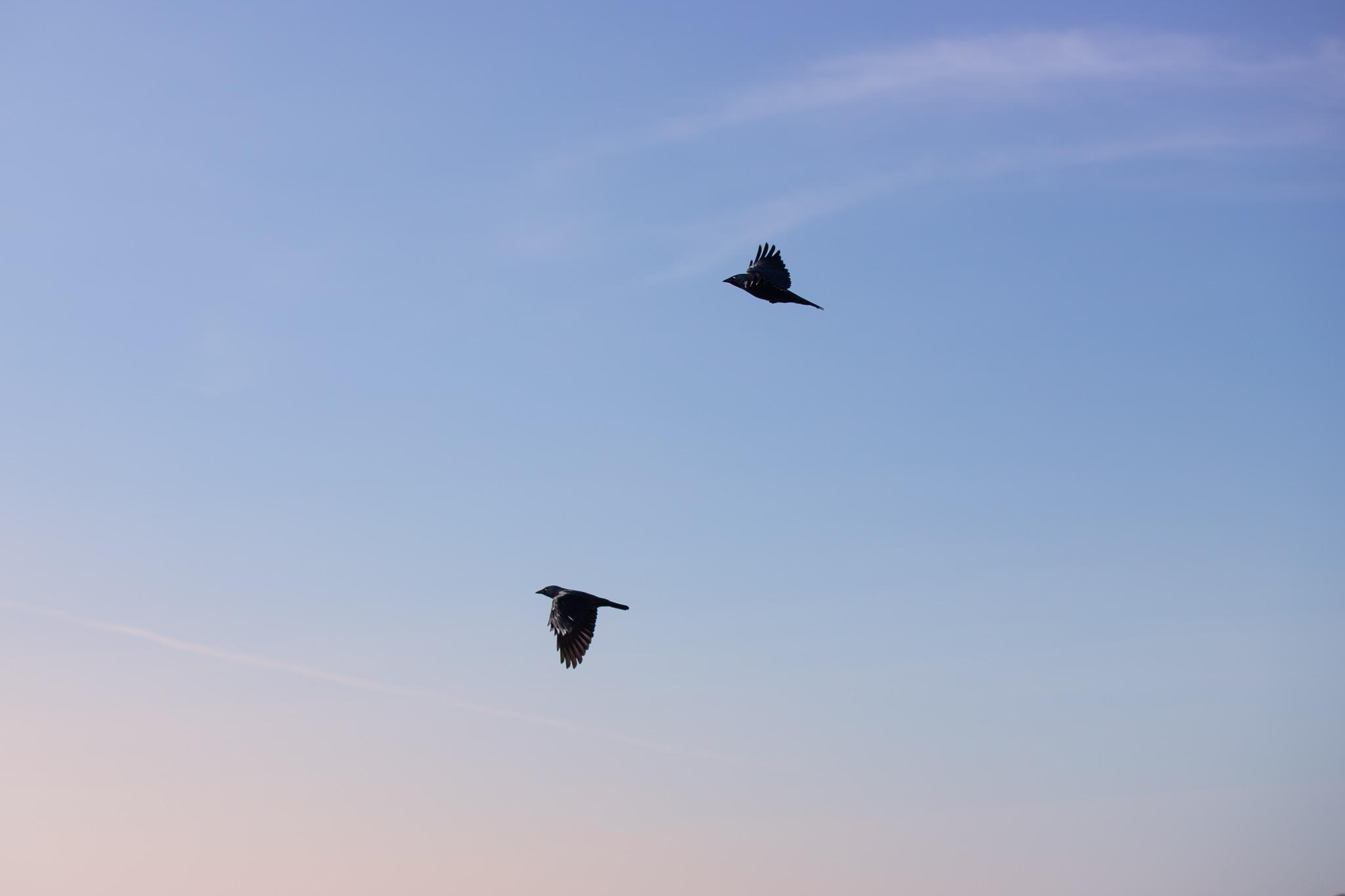 birds photography wales jackdaw