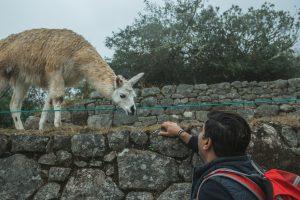 machu picchu llama friendly